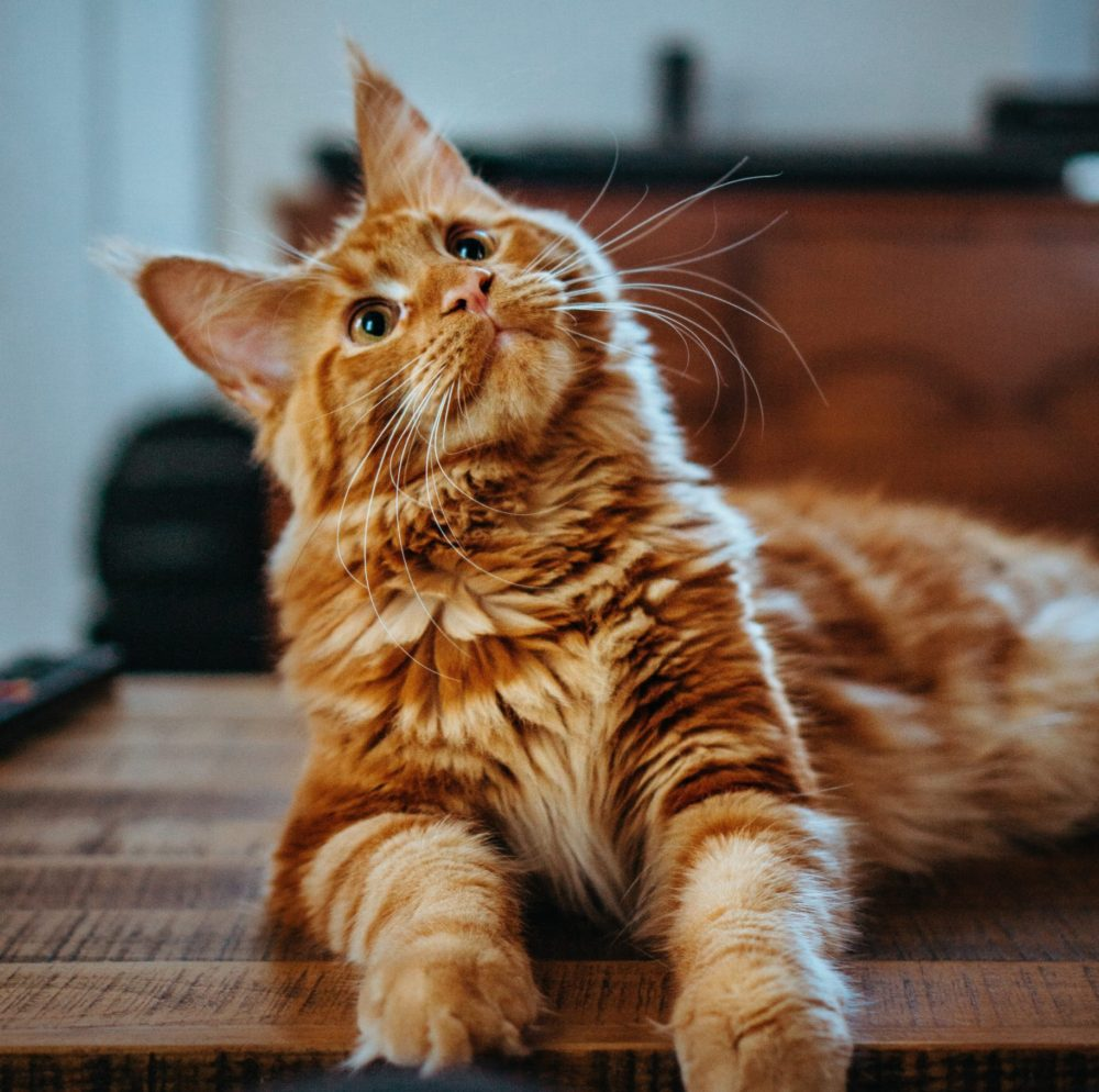 Is Kelp Good For Cats?