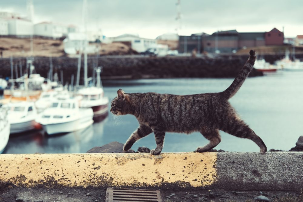 How can kelp supplements support my cat's health?